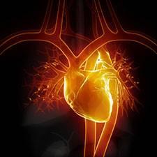Dr Vorobjev - Kardiovaskularni sistem